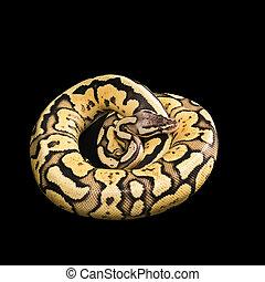 hembra, Pelota, Python., luciérnaga, Morph, o,...