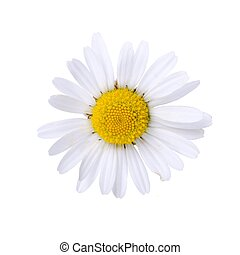 Oxeye daisy bloom isolated on white background.