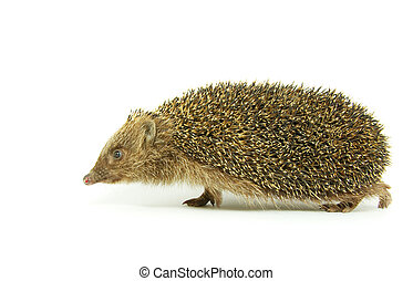 hedgehog - Hedgehog isolated on a white background