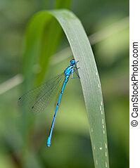 blue dragonfly sits on a leaf