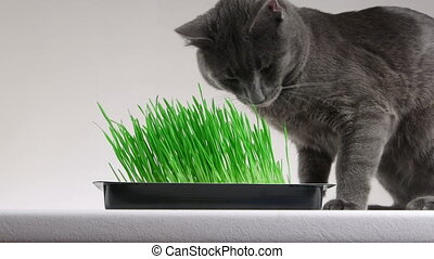 Young gray cat eating home grown grass