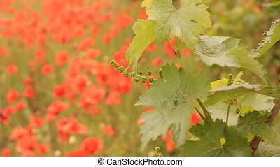 Bright red poppies in a vineyard. - Bright red poppies in a...