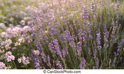 Branches of flowering lavender - Branches of flowering...