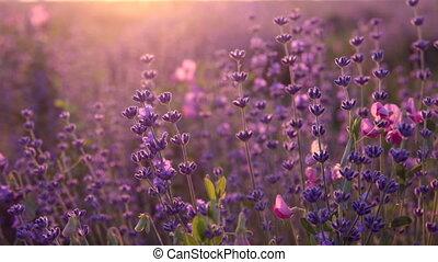 Bushes of flowering lavender - Bushes of flowering lavender...