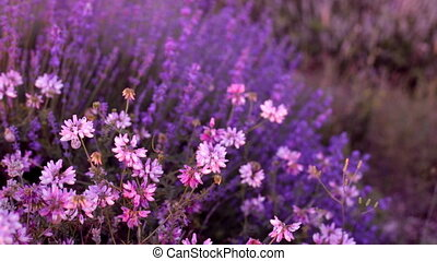 Bushes of flowering lavender - Bushes of flowering lavender...