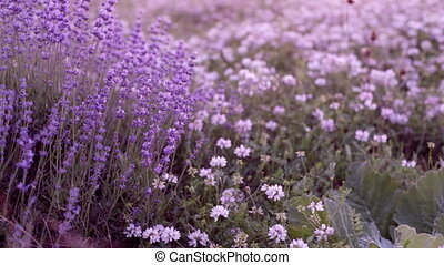 Bushes of flowering lavender. - Bushes of flowering lavender...