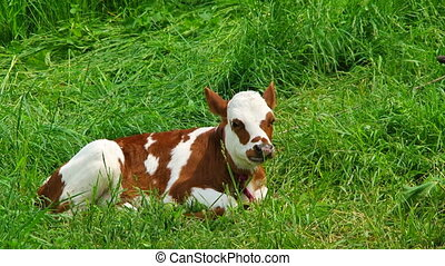 White And Brown Chewing Calf Lying On Green Pasture - This...