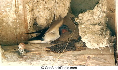 Brisk Swallow Making Nest At Quiet Place - This is a shot of...