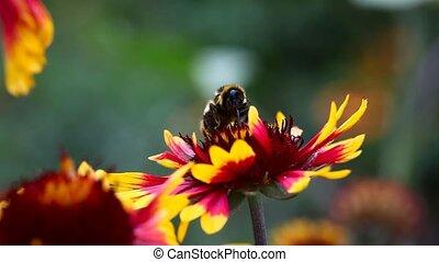 Summer - Bumblebee on a flower gardenia