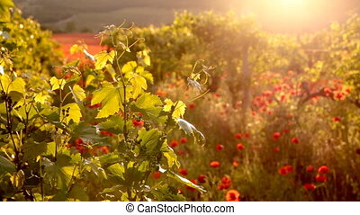 Bright red poppies in a vineyard. - Sunset light with red...