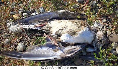 Dead bird on the beach, flies flying around dead bird - dead...