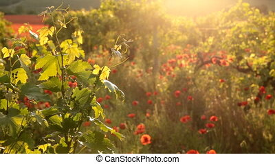 Bright red poppies in a vineyard - Sunset light with red...