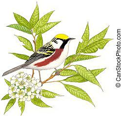 Chestnut-sided Warbler - Dendroica pensylvanica