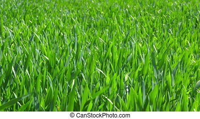 Young Fresh Plants in Sunlight - Young fresh plants in...