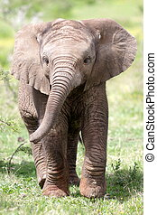 Baby African elephant calf - Cute baby elephant in this...