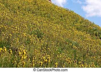 mountainside with yellow flowers in spring Asphodeline...