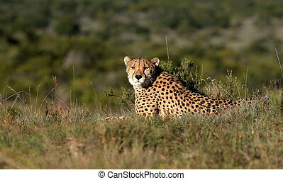 Cheetah resting - A beautiful wildlife photo of a cheetah...
