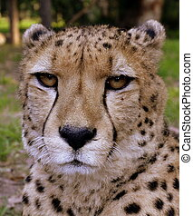 Cheetah portrait - A close up wildlife photo of a cheetah...