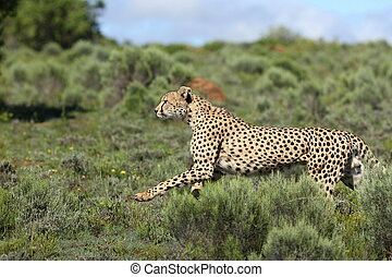 Cheetah running hunting - A beautiful wildlife photo of a...