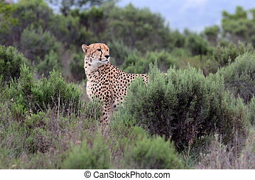 Cheetah on the move - A beautiful wildlife photo of a...