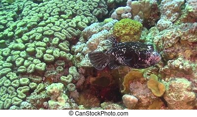 Puffer Fish on Coral Reef, underwater scene