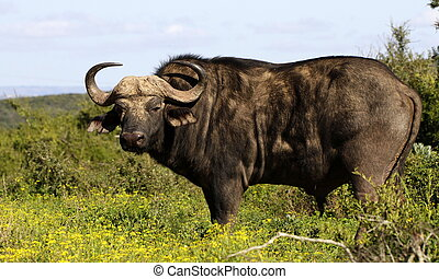 A huge Cape Buffalo bull and baby - A big solitary Cape...