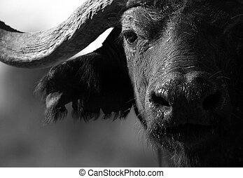 Abstract Cape Buffalo bull - A big solitary Cape buffalo...