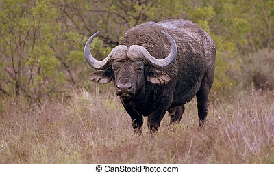 A huge Cape Buffalo bull - A big solitary Cape buffalo bull...