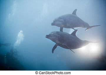 Two dolphins swimming together view under water - Two...