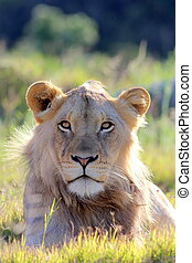 African Lion face portrait - A male lion portrait Golden...