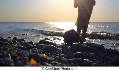 Puppy running near it owner legs in pebble beach during...