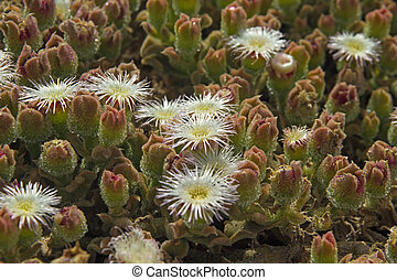 Mesembryanthemum crystallinum, common ice plant, crystalline...