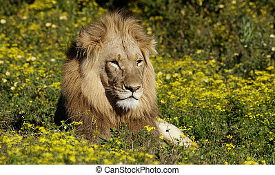 Male lion amoungst flowers - A dark maned adult male lion...