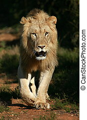 Male lion approaches - A dark maned sub adult male lions...