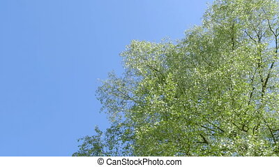 Nature - Branches full of Fresh Green Leaves - low angle...