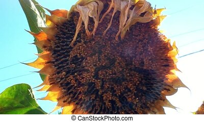 Heads of a sunflower in the intermediate stage of maturity...