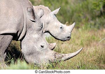 A Rhinoceros / rhino and baby