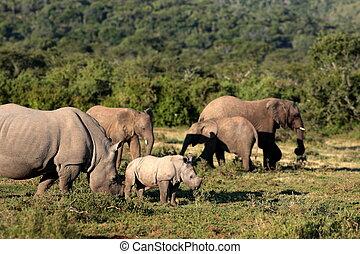 nashörner, zusammen, Elefanten