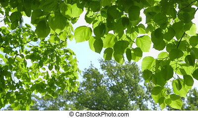 Green Leaves moving in the Wind