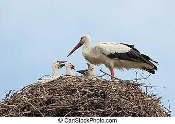 Baby birds of white storks in a nest in the summer - Baby...