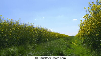 Canola Field - Canola field - plants moving in the wind -...