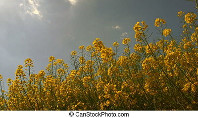 Low Angle View of a Canola Field - Low angle view of a...