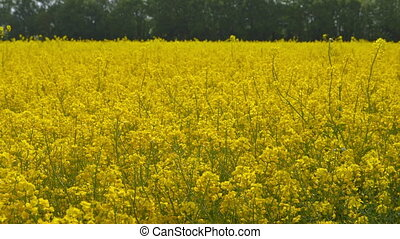Beautiful Canola Field - Dolly Shot