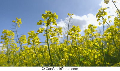 Beautiful Canola Field - Camera Pan