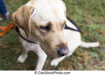 Golden retriever guide dog - A golden retriever guide dog...