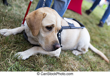 Golden retriever guide dog - Labrador retriever guide dog...