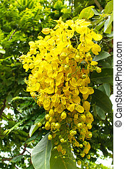 Beautiful yellow flower Golden shower (Cassia fistula). -...