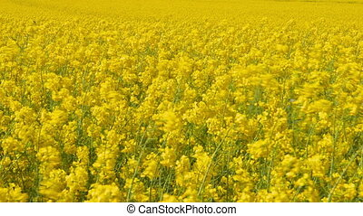 Beautiful Canola Field - Beautiful canola field - plants...
