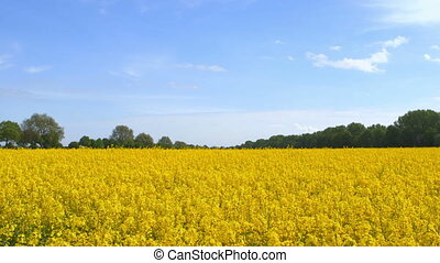 Beautiful Canola Field - Beautiful canola field on a sunny...