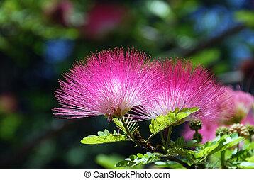 Acacia blossom - Pink crowns of a blossoming acacia close up